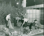 Spade and Trowel Garden Club during Philadelphia Flower Show setup, 1954
